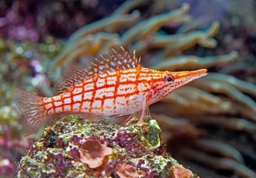 The Motionless Hawkfish