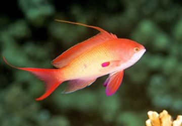 The Anthias Fish; The Queen Of The Red Sea