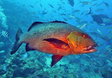 The Snapper Fish And Its Fearsome Teeth